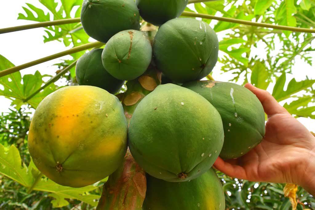 fiji-food-fruit