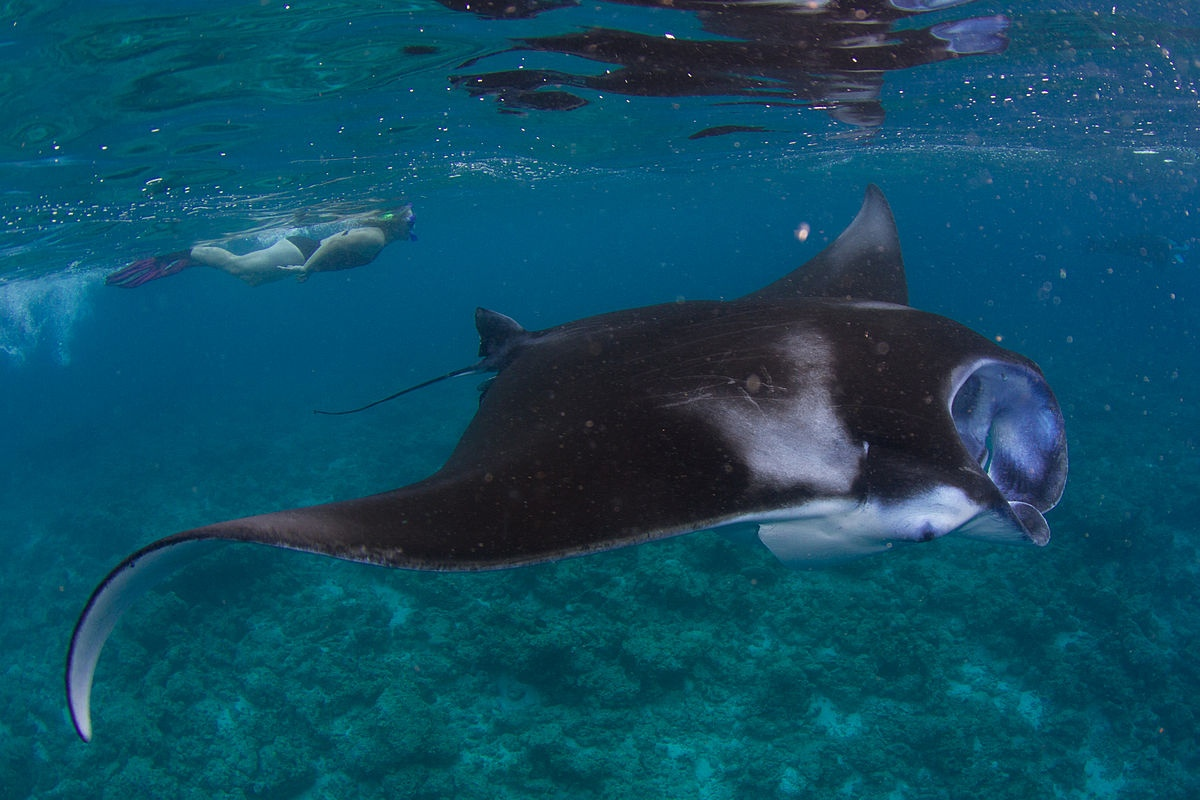 The Guide to Swimming with Manta Rays in Fiji
